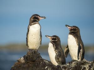 Galapagos penguin Isla Tortuga, Isabela Island, Galapagos by Tui De Roy