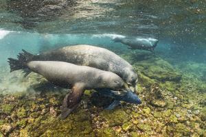 Galapagos sea lions (Zalophus wollebaeki) hunting tuna, Isabela Island, Galapagos by Tui De Roy