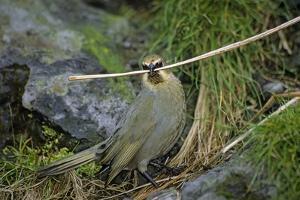 Gough Island bunting gathering nesting material. Gough Island, South Atlantic by Tui De Roy