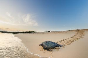 Green turtle female returning to the sea, Galapagos by Tui De Roy