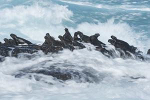 Marine iguana group on rock, Fernandina Island, Galapagos by Tui De Roy
