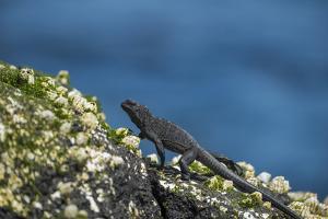 Marine iguana juvenile, Fernandina Island, Galapagos by Tui De Roy