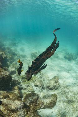 Marine iguana swimming underwater, Galapagos by Tui De Roy