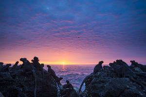 Marine iguanas silhouettes at sunset, Galapagos by Tui De Roy
