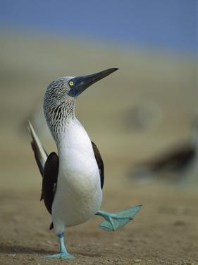 Blue-Footed Booby (Sula Nebouxii) Courtship Dance, Lobos De Tierra Island, Peru by Tui De Roy/Minden Pictures