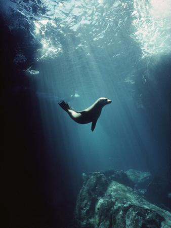 Galapagos Sea Lion (Zalophus Wollebaeki) Pup in Undersea Cave, Seymour Island, Galapagos Islands by Tui De Roy/Minden Pictures