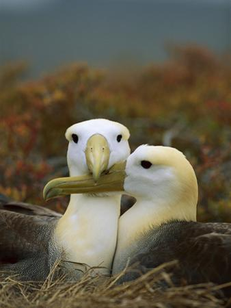 Waved Albatross (Diomedea Irrorata), Punta Cevallos, Espanola Island, Galapagos Islands, Ecuador by Tui De Roy/Minden Pictures