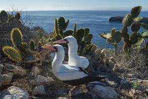 Nazca booby pair amongst Prickly pear cacti, Galapagos by Tui De Roy