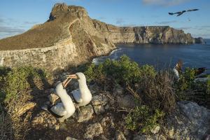 Nazca booby pair on coastal cliff, Wolf Island, Galapagos by Tui De Roy
