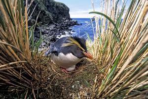 Northern Rockhopper Penguin on nest, Gough Island, South Atlantic by Tui De Roy
