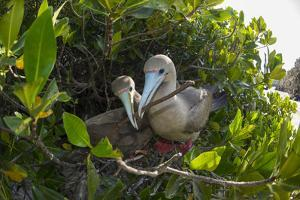 Red-footed booby pair building nest, Galapagos by Tui De Roy