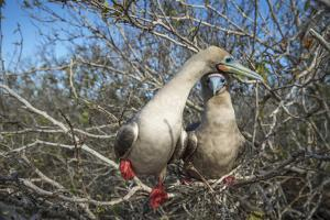 Red-footed booby pair in tree, Genovesa Island, Galapagos by Tui De Roy