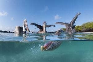 Split level view of Brown pelicans feeding, Tortuga Bay, Santa Cruz Island, Galapagos by Tui De Roy