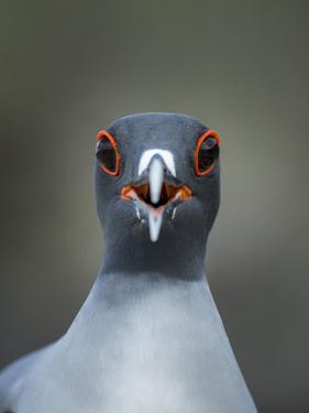 Swallow-tailed gull (Creagrus furcatus) calling, Genovesa Island, Galapagos by Tui De Roy