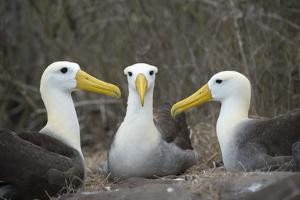 Waved albatross group of three on nest, Punta Suarez, Espanola Island, Galapagos by Tui De Roy