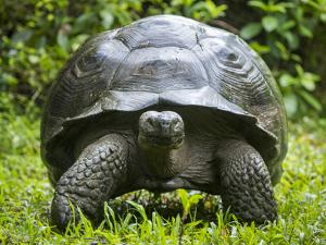 Western Santa Cruz giant tortoise, Santa Cruz Isl, Galapagos by Tui De Roy