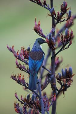 Tui, Parson Bird Sucking Nectar of Flowering