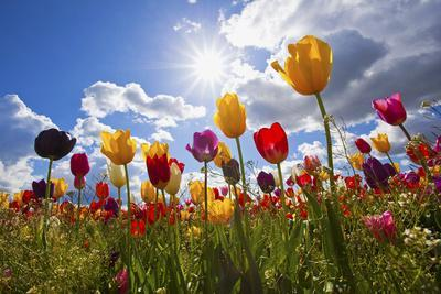 https://imgc.allpostersimages.com/img/posters/tulip-fields-wooden-shoe-tulip-farm-woodburn-oregon-united-states_u-L-PZNWVP0.jpg?artPerspective=n