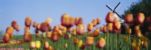 Tulip Flowers with a Windmill in the Background, Holland, Michigan, USA
