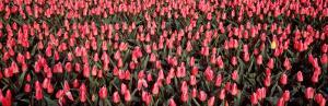 Tulips, Noordbeemster, Netherlands