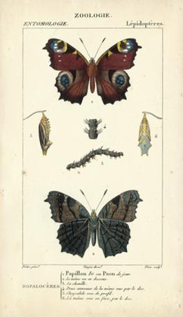 Antique Butterfly Study II