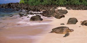 Turtles on the Beach, Oahu, Hawaii, USA