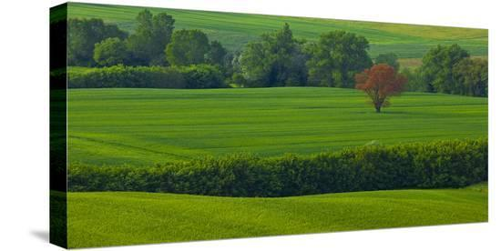 Tuscan Red Tree-Richard Desmarais-Stretched Canvas Print