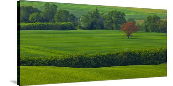 Tuscan Red Tree-Richard Desmarais-Stretched Canvas