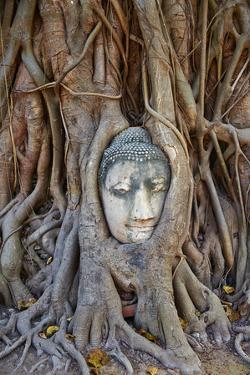 Stone Buddha Head Entwined in the Roots of a Fig Tree, Wat Mahatat, Ayutthaya Historical Park by Tuul