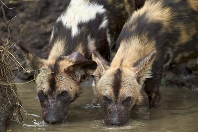 https://imgc.allpostersimages.com/img/posters/two-african-wild-dogs-african-hunting-dog-cape-hunting-dog-lycaon-pictus-drinking_u-L-PWFIWN0.jpg?p=0