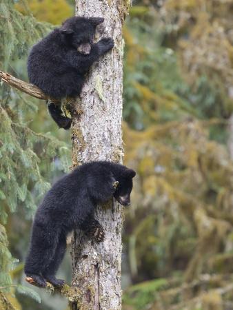 https://imgc.allpostersimages.com/img/posters/two-black-bear-cubs-in-a-tree-anan-creek-alaska-usa_u-L-PN6N3R0.jpg?p=0