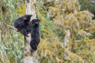 https://imgc.allpostersimages.com/img/posters/two-black-bear-cubs-in-a-tree-anan-creek-alaska-usa_u-L-PN6N480.jpg?p=0