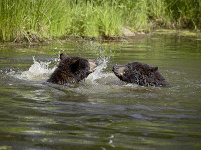 https://imgc.allpostersimages.com/img/posters/two-black-bears-playing-in-captivity-sandstone-minnesota-usa_u-L-PXUEBP0.jpg?artPerspective=n