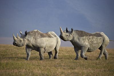 https://imgc.allpostersimages.com/img/posters/two-black-rhinoceros-hook-lipped-rhinoceros-diceros-bicornis_u-L-PWFKA30.jpg?p=0