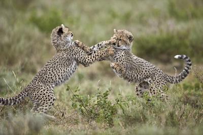 https://imgc.allpostersimages.com/img/posters/two-cheetah-acinonyx-jubatus-cubs-playing_u-L-PWFDFU0.jpg?p=0
