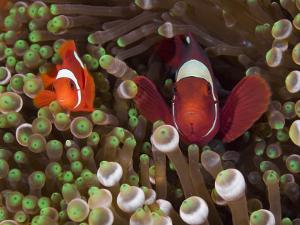Two Clownfish Among Anemone Tentacles, Raja Ampat, Indonesia
