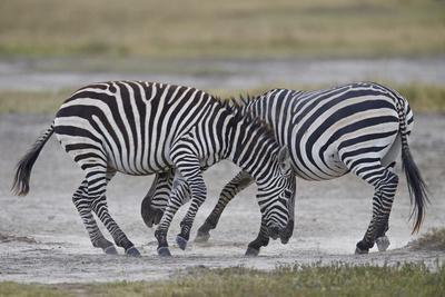 https://imgc.allpostersimages.com/img/posters/two-common-zebra-plains-zebra-burchell-s-zebra-equus-burchelli-sparring_u-L-PWFE2J0.jpg?p=0