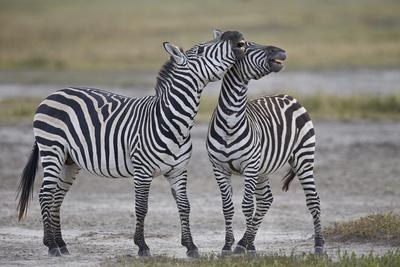 https://imgc.allpostersimages.com/img/posters/two-common-zebra-plains-zebra-burchell-s-zebra-equus-burchelli-sparring_u-L-PWFGSR0.jpg?p=0