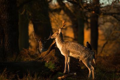 https://imgc.allpostersimages.com/img/posters/two-fallow-deer-cervus-elaphus-in-london-s-richmond-park_u-L-Q1362940.jpg?p=0