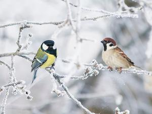 Two Funny Curious Little Bird Tit and Sparrow Sit among the Branches Covered with Cold Snow Flakes