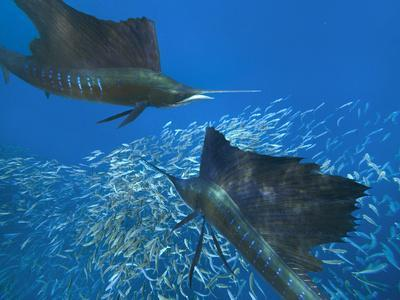 https://imgc.allpostersimages.com/img/posters/two-indo-pacific-sailfish-above-sardines-isla-mujeres-mexico_u-L-Q1D0E4V0.jpg?p=0