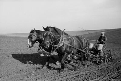 Two Large Work Horses Pull the Farmer and His Corn Seed Drill in Iowa, 1940s