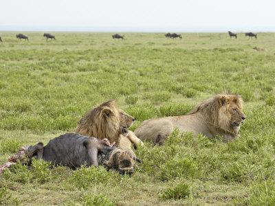 https://imgc.allpostersimages.com/img/posters/two-lion-at-a-blue-wildebeest-kill-serengeti-national-park-tanzania_u-L-P91EJ30.jpg?p=0