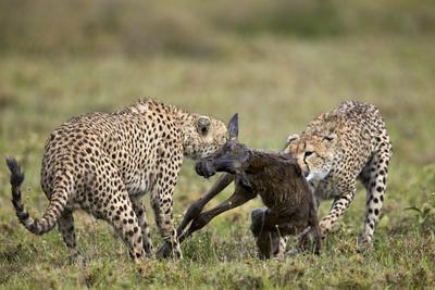 https://imgc.allpostersimages.com/img/posters/two-male-cheetah-acinonyx-jubatus-killing-a-new-born-blue-wildebeest-brindled-gnu-calf_u-L-PWFHIH0.jpg?p=0