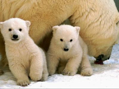 Two Polar Bear Cubs Keep an Eye on the Photographer as Their Mother Licks the Snow at Hogle Zoo