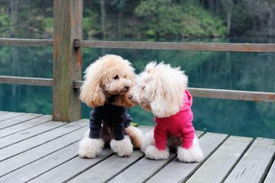 https://imgc.allpostersimages.com/img/posters/two-poodle-dog-standing_u-L-Q1038AZ0.jpg?p=0