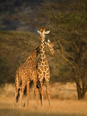 Two Reticulated Giraffes (Giraffa Camelopardalis Reticulata), Kenya