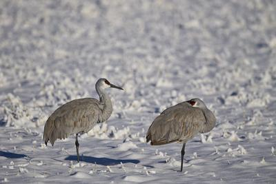 https://imgc.allpostersimages.com/img/posters/two-sandhill-crane-grus-canadensis-in-the-snow_u-L-PWFIUB0.jpg?p=0