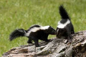 Two Skunks on a Tree Stump