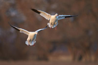 https://imgc.allpostersimages.com/img/posters/two-snow-goose-chen-caerulescens-landing_u-L-PWFJHF0.jpg?p=0